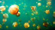 Где находится озеро медуз и почему туристы мечтают в нем искупаться